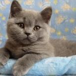 Британские к. ш котята, Рязань
