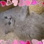 Английские длинношерстные котята (Хайленд), Рязань